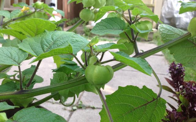 Tomatilloはナス科で南米料理のグリーンソースの材料になる。緑色と酸っぱさが特徴。ほおずきのようでかわいい。