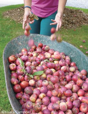 小さくても香り豊かで木ごとに味が違うリンゴ。