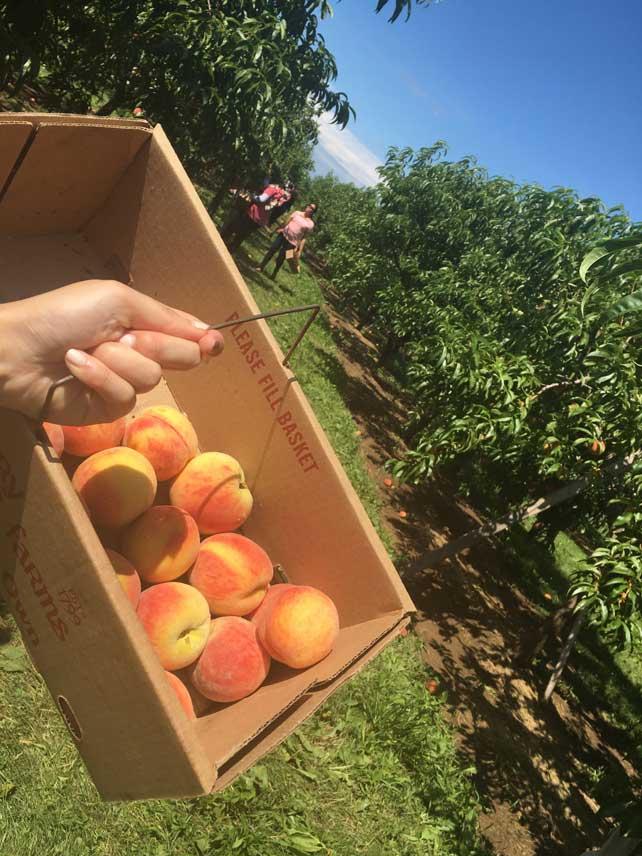 peach-picking2