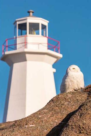 ニューファンドランドなど北極圏のみに生息するシロフクロウ