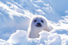 """氷上に舞い降りる天使たちに出会う旅 """"Seal Observation Tour""""(タテゴトアザラシ鑑賞ツアー)"""