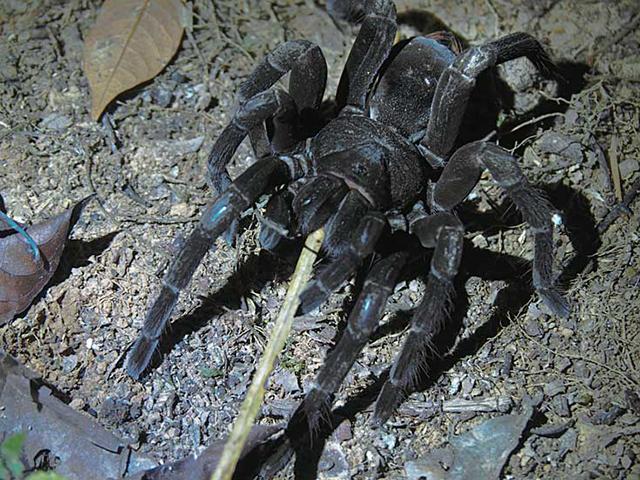 棒に食いついてくる毒蜘蛛トタテグモ