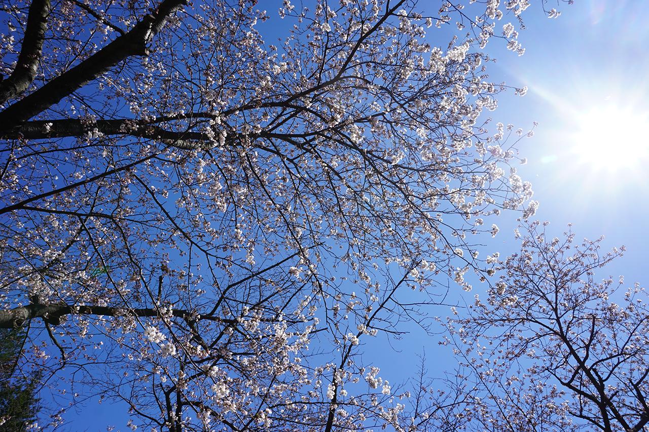 sakura-story02
