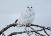 となりのシロフクロウ|オンタリオ州・アウトドアの魅力。楓の森の歩き方 第57歩