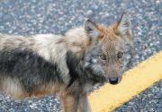 アルゴンキンの狼|オンタリオ州・アウトドアの魅力。楓の森の歩き方 第58歩