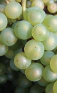 white-wine-grapes01
