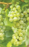white-wine-grapes05