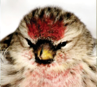 common-redpoll-
