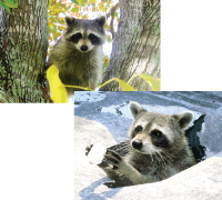 northern-raccoon