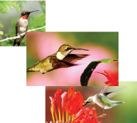 ruby-throated--hummingbird