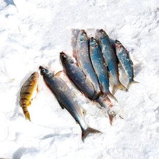 私達の食べる魚。(イエローパーチとシスコ)