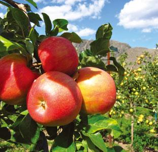 オーガニックで作られるリンゴの味は格別