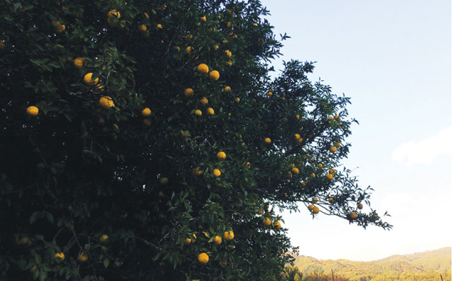 大きなゆずの木。外側だけしか収穫できない