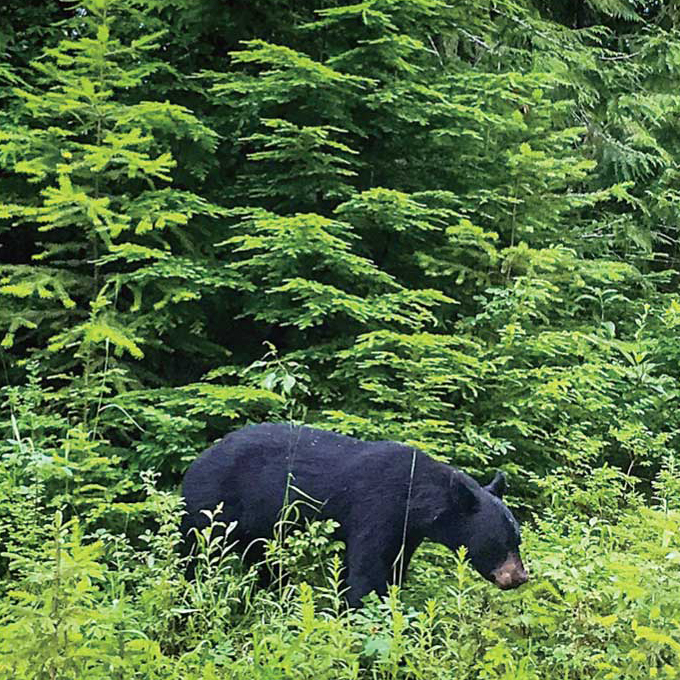 クマと遭遇できるチャンスが多いのが魅力?! @Wells Grey Park, British Columbia