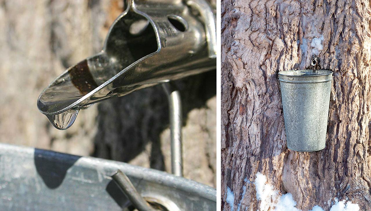 砂糖楓の木から樹液を採取します。