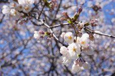 トロントの桜満開に向けてハイパーク閉鎖に伴い市がライブカメラで配信。総領事館もバーチャル花見を企画