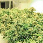 トロントでは高級エリア・ヨークビルの路面店で大麻販売スタート間近|カナダから見るマリファナ合法化のあと