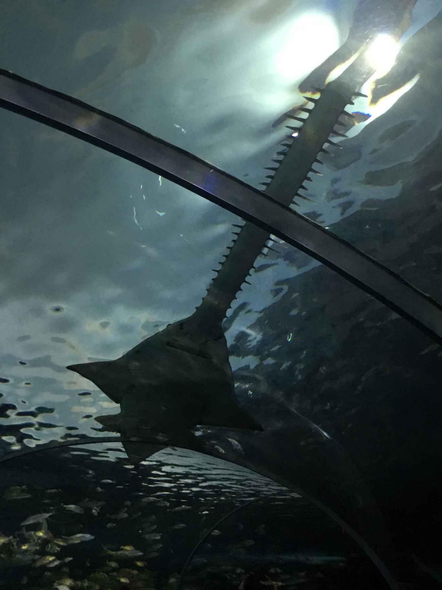 ノコギリザメのノコギリは思っていた以上に『鋸』だと判明