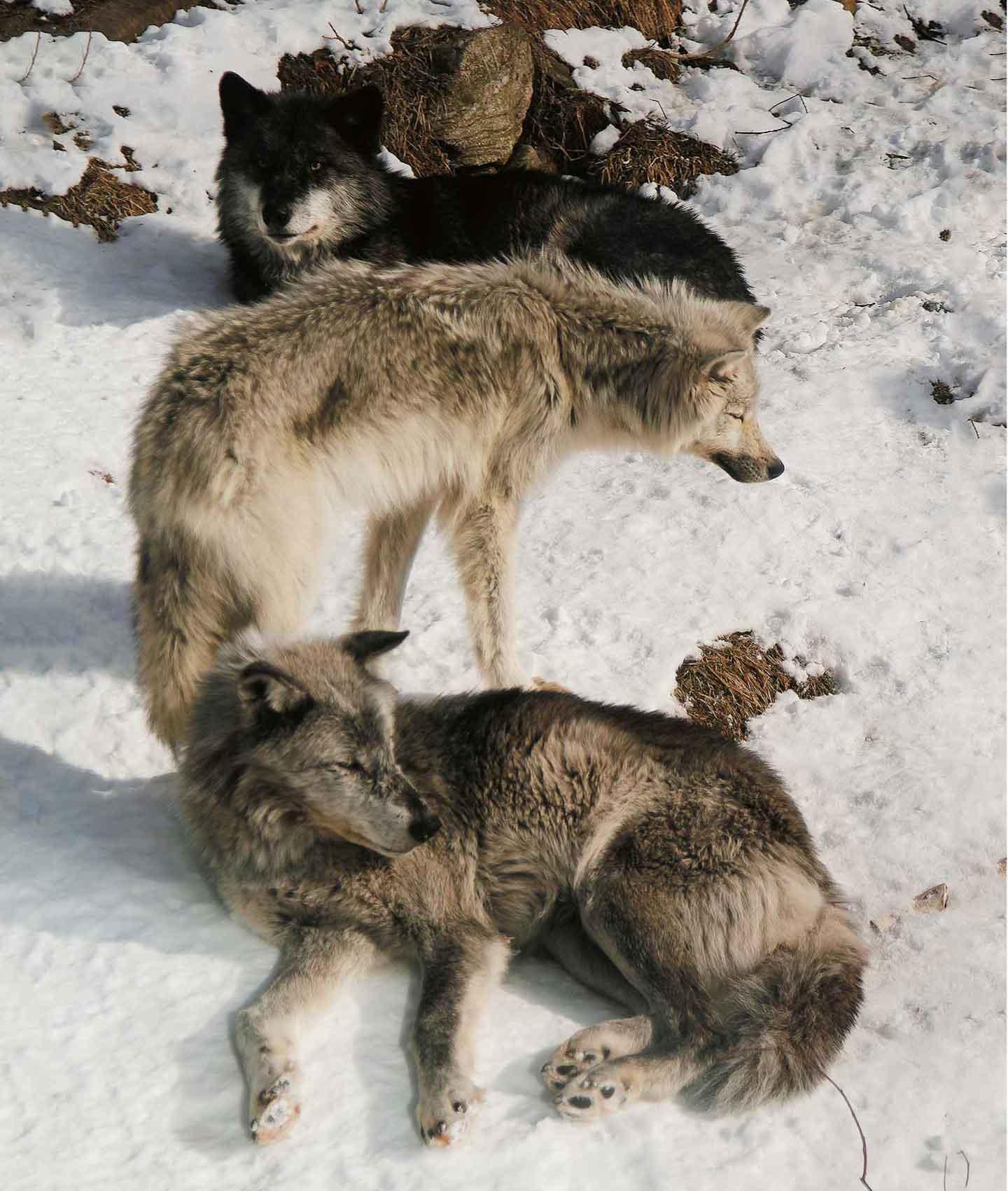 冬のオオカミたち