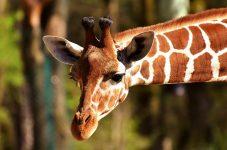 【注目】子ども大喜び!トロント動物園がドライブスルー方式で開園を予定。今週末はバーチャルキャンプアウトも開催!