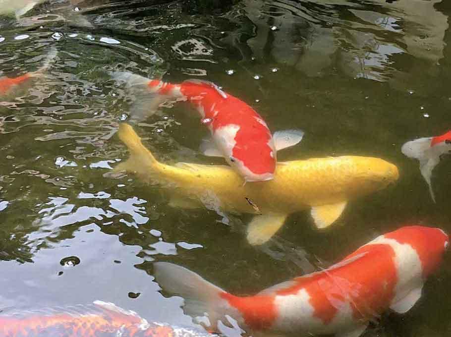 色とりどりの鯉
